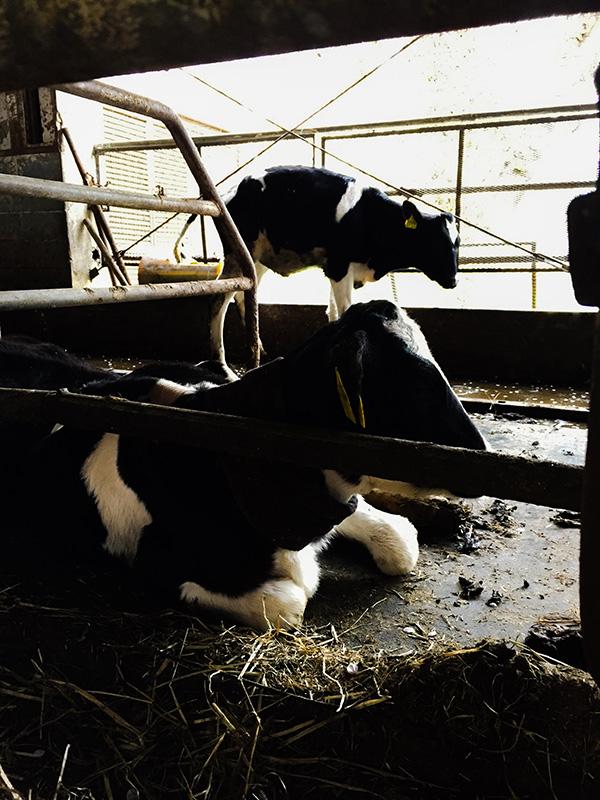 荒川サイクリングロードの休憩所として有名な榎本牧場の牛舎