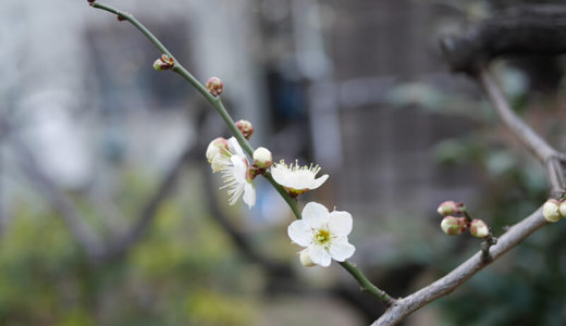 東京・上野近く!湯島天神の梅まつり(3月8日まで)へ